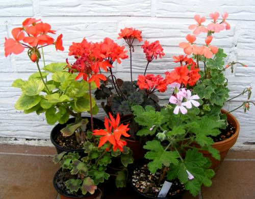 Gruppe blhender Pelargonien, 4x Buntblatt und 1 x Duftblatt