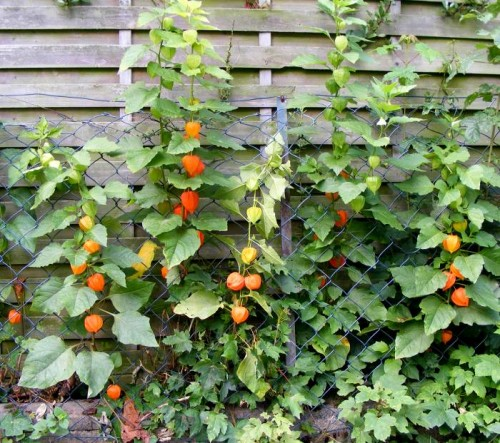 Frchtetragende Lampionblumen (Physalis alkekengi)