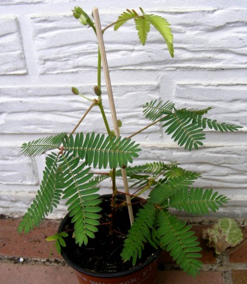 Mimose (Mimosa pudica)