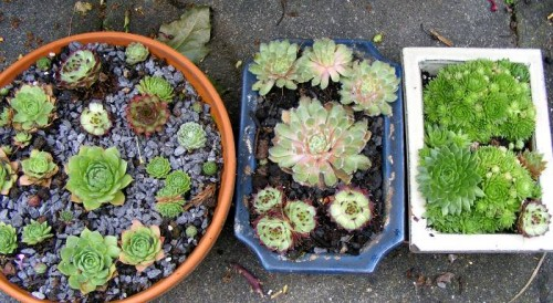 Verschiedene Hauswurz (Sempervivum) in Pflanzgefen